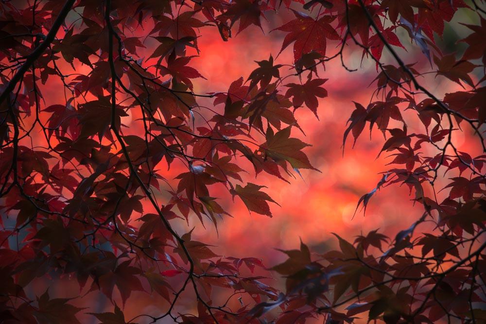 真っ赤な楓の後ボケ