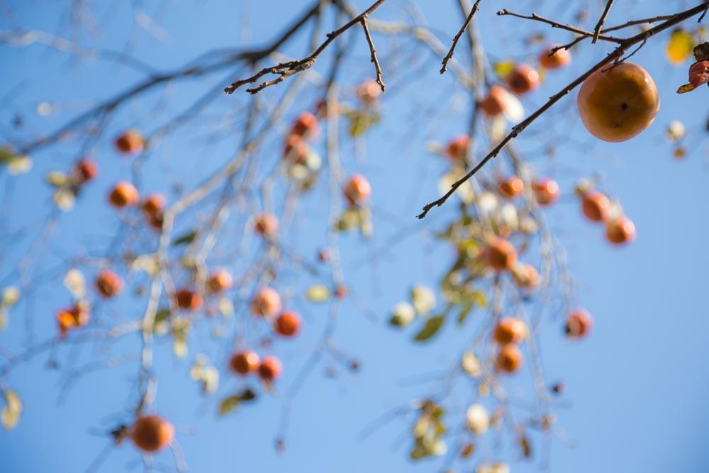 背景ボケの実る柿