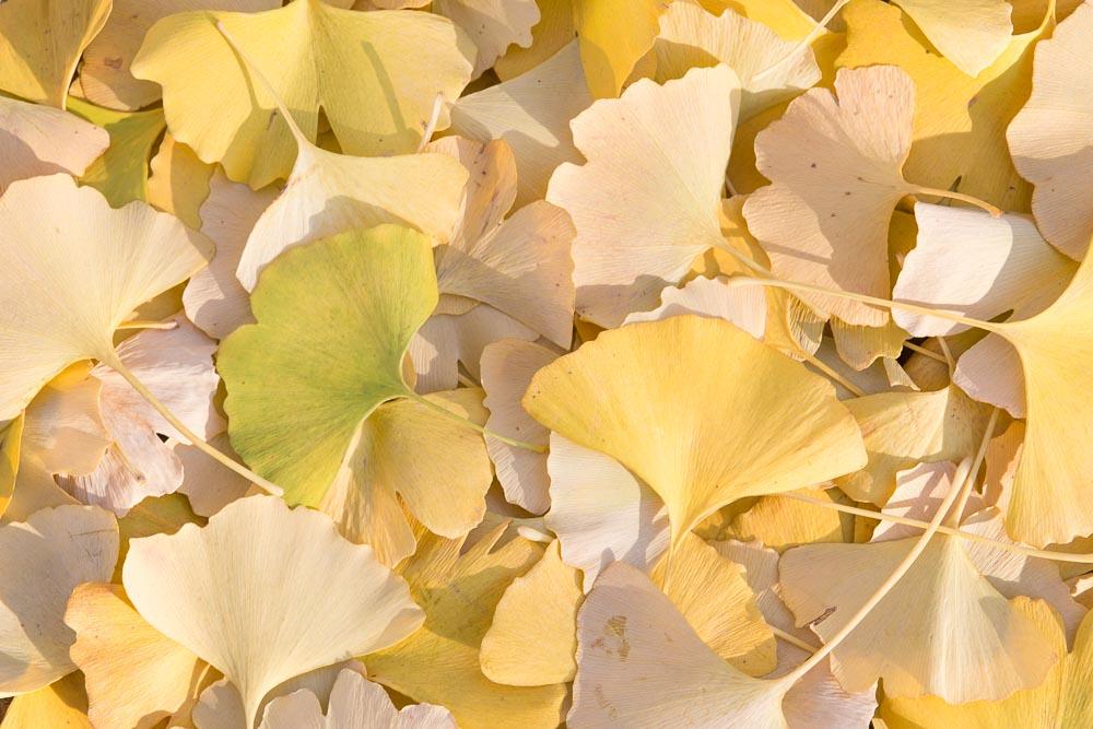 イチョウの葉だらけ