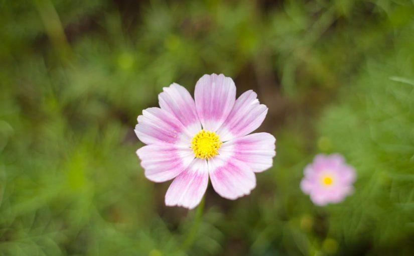 コスモス ハッピーリングのカワイイ花