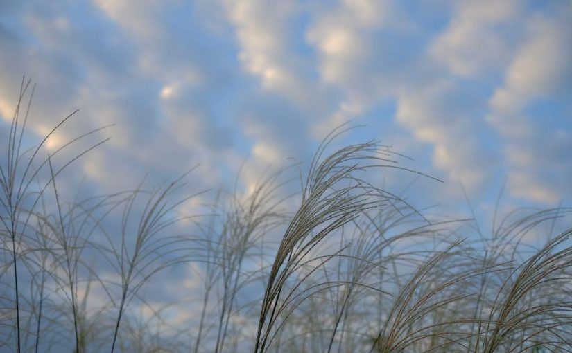 ススキと秋のうろこ雲