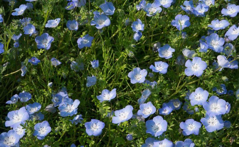 青紫の花 ネモフィラ