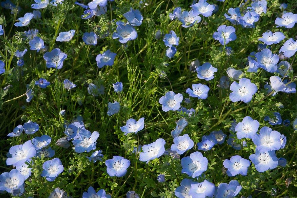 ネモフィラ メンジェシーの花畑